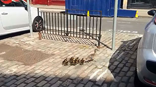 Duck Family on George Street