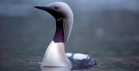 A Black Throated  Diver